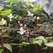 Begonia crenata - Photo (c) swanand kesari, algunos derechos reservados (CC BY-NC)