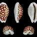 Cribrarula cribraria - Photo (c) H. Zell, algunos derechos reservados (CC BY-SA)
