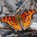 Mariposas Ninfas - Photo (c) Jerry Oldenettel, algunos derechos reservados (CC BY-NC-SA)