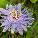Purple Passionflower - Photo (c) Danny Barron, some rights reserved (CC BY-NC-ND)