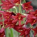 Oxblood Lily - Photo (c) Ron Chang (curated by Cat Chang), some rights reserved (CC BY-NC)