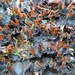Peltigera polydactylon - Photo (c) Joe Walewski, algunos derechos reservados (CC BY-NC)