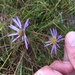 Southern Swamp Aster - Photo (c) Dwayne Estes, some rights reserved (CC BY-NC)