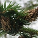 Pineapple-gall Adelgid - Photo (c) joannerusso, some rights reserved (CC BY-NC), uploaded by joannerusso