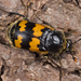 Burying Beetles - Photo (c) Nikolai Vladimirov, some rights reserved (CC BY-NC)