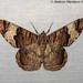 Xandrames latiferaria - Photo (c) 57Andrew, algunos derechos reservados (CC BY-NC-ND)