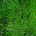 Dwarf Horsetail - Photo (c) H. Zell, some rights reserved (CC BY-SA)