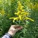 Solidago altissima - Photo (c) Erin Faulkner, algunos derechos reservados (CC BY-NC)