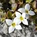 Houstonia procumbens - Photo (c) Bob Peterson, algunos derechos reservados (CC BY-SA)