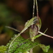 Dancing Spider Orchid - Photo (c) mattward, some rights reserved (CC BY-NC)