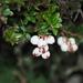 Gaultheria borneensis - Photo (c) Cynthia Su, algunos derechos reservados (CC BY)