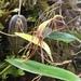 Pleurothallis killipii - Photo no hay derechos reservados