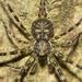 Hersiliidae - Photo (c) biocacheux, osa oikeuksista pidätetään (CC BY-NC), uploaded by Iván Montes de Oca Cacheux