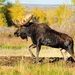 Moose - Photo (c) USFWS Mountain-Prairie, some rights reserved (CC BY)