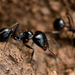Smooth Harvester Ants - Photo (c) Stavros Markopoulos, some rights reserved (CC BY-NC-ND)