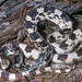 Northern Pine Snake - Photo (c) bobbyfingers, some rights reserved (CC BY-NC)