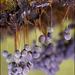 Badhamia utricularis - Photo (c) Marco Bertolini,  זכויות יוצרים חלקיות (CC BY)