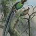 Astrapia rothschildi - Photo Ellis Rowan (c1847-1922), לא ידועות מגבלות של זכויות יוצרים  (נחלת הכלל)