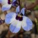 Downingia concolor concolor - Photo (c) Dee Warenycia,  זכויות יוצרים חלקיות (CC BY-NC)
