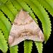 Achaea janata - Photo (c) Shipher (士緯) Wu (吳),  זכויות יוצרים חלקיות (CC BY-NC-SA)