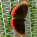 Mariposa de Borde Rojo - Photo (c) Andres Hernandez S., algunos derechos reservados (CC BY-NC-SA)