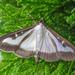 Box Tree Moth - Photo (c) Armin S Kowalski, some rights reserved (CC BY-SA)