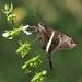 Chioides albofasciatus - Photo (c) Ronnie Pitman, osa oikeuksista pidätetään (CC BY-NC)