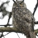 Great Horned Owl - Photo (c) Durrell D. Kapan, some rights reserved (CC BY-NC)