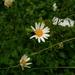 Leucanthemum ircutianum - Photo (c) Natalya, some rights reserved (CC BY)