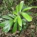 Calamus caryotoides - Photo (c) coenobita, some rights reserved (CC BY)
