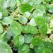 Hydrocotyle verticillata - Photo (c) 大肚魚, algunos derechos reservados (CC BY-NC)
