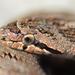 Culebra Lisa Meridional - Photo (c) Alexandre Roux, algunos derechos reservados (CC BY-SA)