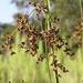 Cladium mariscus jamaicense - Photo (c) Bob O'Kennon, algunos derechos reservados (CC BY-NC)