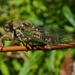 Scissors Grinder Cicada - Photo (c) Stephen Durrenberger, some rights reserved (CC BY-NC-SA)
