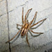Prowling Spiders - Photo (c) Mike Lusk, some rights reserved (CC BY-NC)