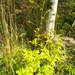Actaea cimicifuga - Photo (c) Natalya,  זכויות יוצרים חלקיות (CC BY)