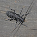 Sawyer Beetles - Photo (c) V.S. Volkotrub, some rights reserved (CC BY-NC)