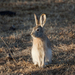 Tolai Hare - Photo (c) Sergey Pisarevskiy, some rights reserved (CC BY-NC-SA)