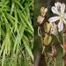 Chlorophytum comosum - Photo (c) gerhardmalan, μερικά δικαιώματα διατηρούνται (CC BY-NC)