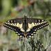 Mariposa Cometa - Photo (c) Robin Gwen Agarwal, algunos derechos reservados (CC BY-NC)