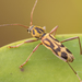Bamboo Tiger Longhorn - Photo (c) André Menegotto, some rights reserved (CC BY-NC)