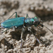 Cicindela tranquebarica sierra - Photo (c) Will Richardson,  זכויות יוצרים חלקיות (CC BY-NC)