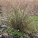 Gahnia filum - Photo (c) David Muirhead, some rights reserved (CC BY-NC)