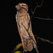 Nyctibius - Photo (c) Jerry Oldenettel, osa oikeuksista pidätetään (CC BY-NC-SA)