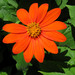 Tithonia rotundifolia - Photo (c) John,  זכויות יוצרים חלקיות (CC BY-NC)