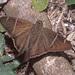 Saltarina de Cola Larga de Banda Ancha - Photo (c) greglasley, algunos derechos reservados (CC BY-NC), uploaded by Greg Lasley