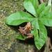 Microhyla superciliaris - Photo (c) rachmi, μερικά δικαιώματα διατηρούνται (CC BY-NC)