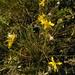 Crepidifolium tenuifolium - Photo (c) Natalya, μερικά δικαιώματα διατηρούνται (CC BY)