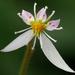 Saxifraga stolonifera - Photo (c) James Gaither, algunos derechos reservados (CC BY-NC-ND)