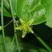 Pale Passionflower - Photo (c) Wayne Fidler, some rights reserved (CC BY-NC)